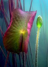 A felszín felé A kép gyékényesen készült egy felszín felé törekvő tavirózsa bimbóról.